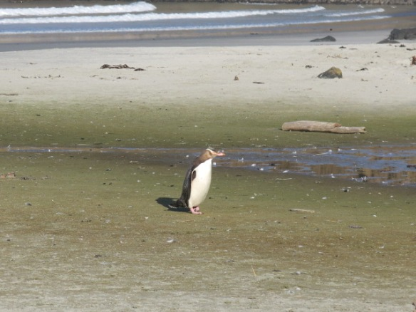 IMG_9257_Yellow Eyed Penguin coming in to shore in late afternoon, Otago Peninsula